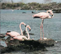 On the glapagos Islands, the famous flamingos wear the colors of the Peruvian flag.