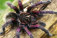 A dark colored Mygola tarantula.