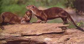 Playful by nature, these giant river otters seem to symbolise the forest's vitality. © Walter Wust